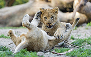 Fotos Löwe Jungtiere Zwei ©Tambako The Jaguar
