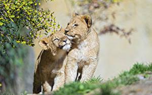 Fotos Löwe Jungtiere Zwei