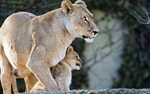 Hintergrundbilder Löwe Jungtiere Löwin Zwei