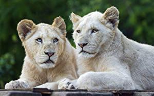Bilder Löwe Jungtiere Weiß ©Tambako The Jaguar