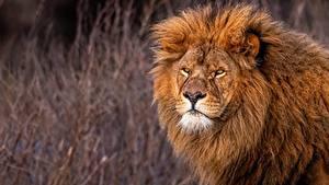 Fotos Löwe Starren ein Tier