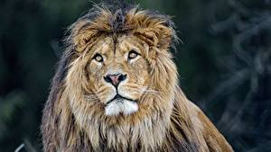 Fotos Löwe Blick Tiere