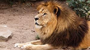 Bilder Löwe Starren Pfote Tiere