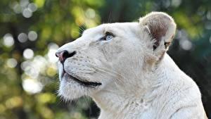 Hintergrundbilder Löwen Löwin Kopf Weiß Starren ein Tier