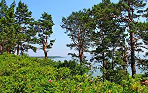 Hintergrundbilder Litauen Meer Bäume nida Natur
