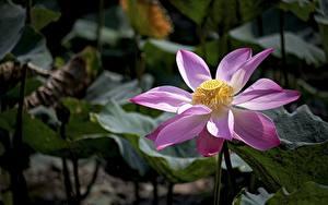 Tapety na pulpit Lotos Zbliżenie Bokeh Różowy kolor kwiat