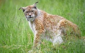 Hintergrundbilder Luchse Gras Blick Bokeh Sitzen ein Tier