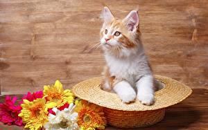 Bilder Mancoon Der Hut Katzenjunges Starren