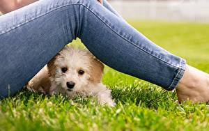 Fotos Malteser Hund Gras Bein Jeans Blick ein Tier