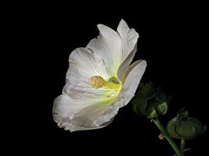Bilder Malven Nahaufnahme Schwarzer Hintergrund Weiß Blüte