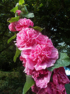 Images Malva Closeup Pink color flower