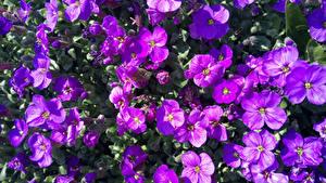 Bureaubladachtergronden Veel Van dichtbij Paarse kleur Aubretia bloem