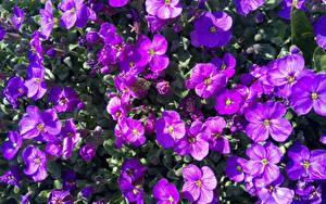 Tapety na pulpit Wiele Zbliżenie Fiolet Aubretia kwiat