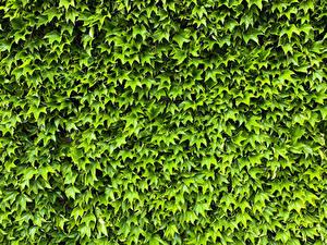 Hintergrundbilder Viel Blatt Grün Natur