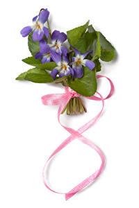 Bilder Internationaler Frauentag Krokusse Weißer hintergrund Violett Band Blüte