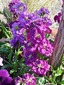 Hintergrundbilder Levkojen Hautnah Blumen
