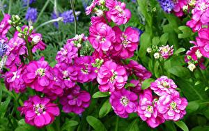 桌面壁纸,,紫羅蘭屬,特寫,粉红色,花卉