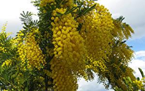 Hintergrundbilder Mimosen Großansicht Ast Gelb Blumen
