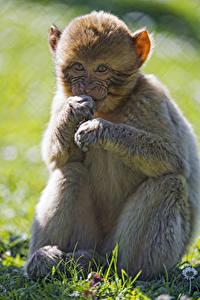 Bilder Affen Jungtiere Blick