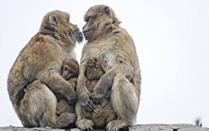 Fotos Affen Jungtiere Liebe Weißer hintergrund