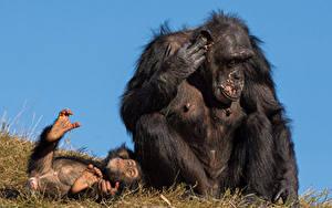 Hintergrundbilder Affen Jungtiere Zwei