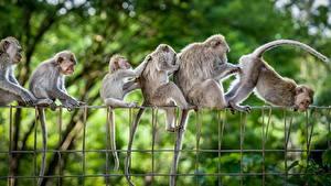 Bilder Affe Lustiges Zaun ein Tier