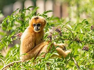 Hintergrundbilder Affen Ast Blick Yellow-cheeked crested Gibbon ein Tier