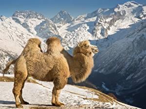 Fotos Berg Kamele Schnee Seitlich ein Tier
