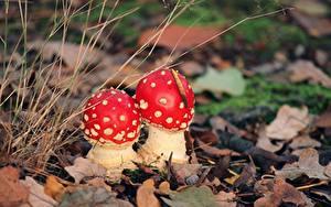 Bilder Pilze Natur Wulstlinge 2 Blatt
