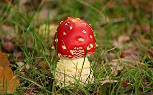 Bilder Pilze Natur Großansicht Wulstlinge Gras