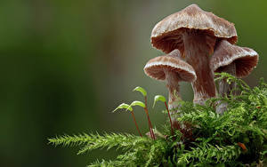 Tapety na pulpit Grzyby natura Zbliżenie Mech basidiomycota Natura