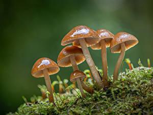 Fotos Pilze Natur Großansicht Laubmoose clustered bonnets