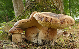Fotos Pilze Natur Hautnah Gemeiner Steinpilz Drei 3