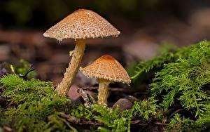 Bilder Pilze Natur Unscharfer Hintergrund Laubmoose 2 Lepiota castanea