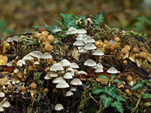 Hintergrundbilder Pilze Natur Viel Baumstumpf stump puffballs, milking bonnet