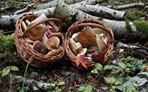 Bilder Pilze Natur Gemeiner Steinpilz Weidenkorb