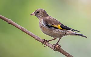 Fotos Küken Vögel Ast Goldfinch ein Tier