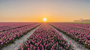 Hintergrundbilder Niederlande Felder Sonnenaufgänge und Sonnenuntergänge Tulpen Viel Goeree-Overflakkee Blüte Natur