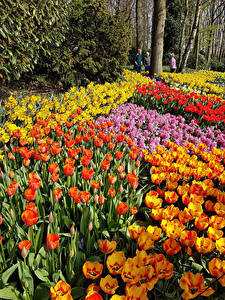 Bilder Niederlande Park Tulpen Viel Keukenhof Lisse Blumen