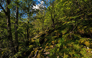 Bilder Norwegen Wald Stein Bäume Laubmoose Hardangerfjord Natur