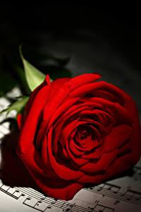 Bilder Noten Rosen Großansicht Rot Blumen