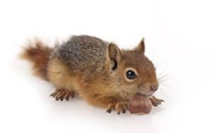 Hintergrundbilder Nussfrüchte Hörnchen Weißer hintergrund Blick ein Tier