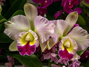 Desktop hintergrundbilder Orchidee Großansicht Blumen
