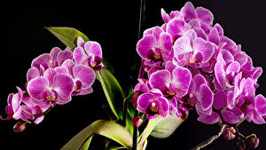 Wallpapers Orchid Closeup Black background Pink color flower