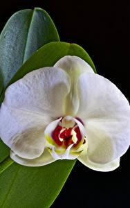 Tapety na pulpit Orchidee Z bliska Czarne tło Biały Kwiaty