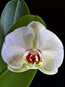 Fonds d'écran Orchidées En gros plan Fond noir Blanc Fleurs