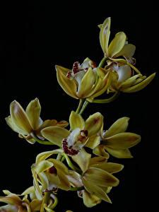 Hintergrundbilder Orchideen Großansicht Schwarzer Hintergrund Gelb Blüte