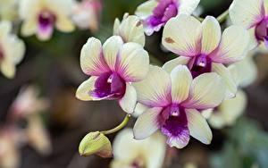 Bilder Orchidee Nahaufnahme Unscharfer Hintergrund Blüte