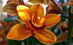 Картинки Орхидеи Вблизи Оранжевых цветок