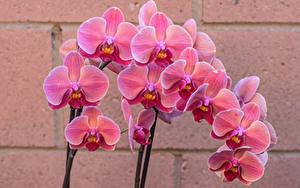 Fonds d'écran Orchidées En gros plan Rose couleur Fleurs